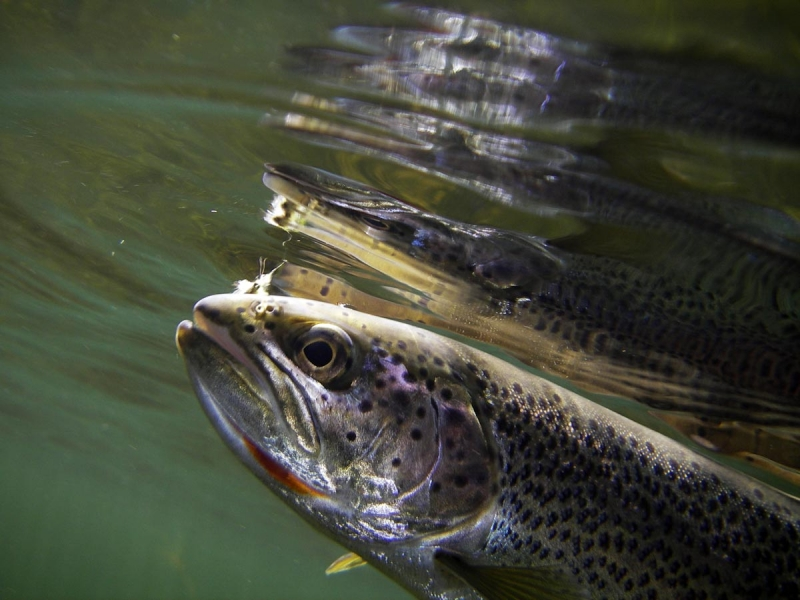Rainbow trout hooked on a fly photographed under water