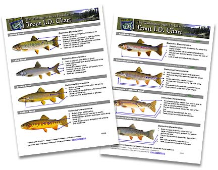 Chart showing key features for 8 species or subspecies of trout.
